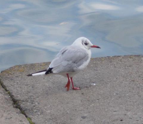 Минская птица
